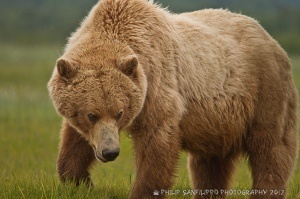 kodiak-bear