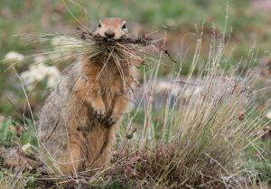 ground squirrel with grasses