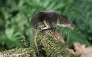 brown shrew