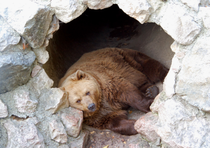bears-hibernation