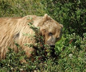 20140722-466-yukon-brown-bear-eating-berries-psr
