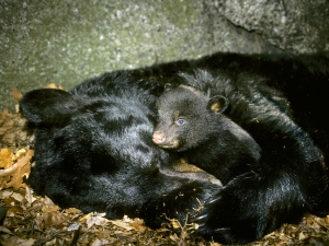 Hibernating mother black bear (Ursus americanus) with three-month old cub.