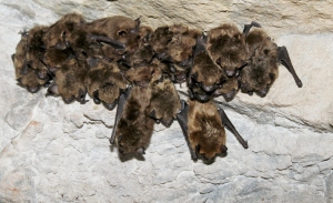 winter-2014-environ-assess-Big-Brown-bats