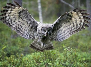 great grey owl | jari-peltomaki | pictures tag cloud | bird pictures on Pictures Of Great Grey Owls