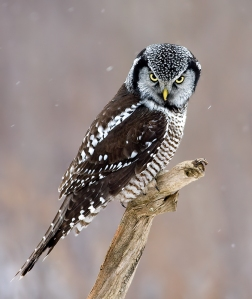 Hawk-Owl-Photos