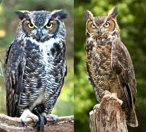 perched-horned-owls