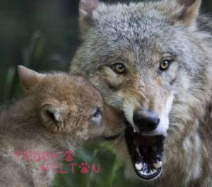 wolf-pup-mama-wolf-mouth-funny__oPt