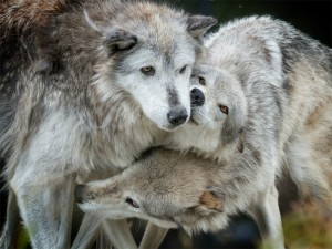 wolvesplay_nagelphotography_shutterstock-800