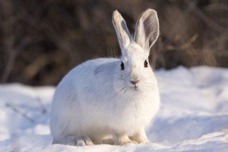 snowshoe-hare-e1480643961748