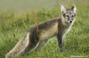 Arctic-Fox-Summer-Coat