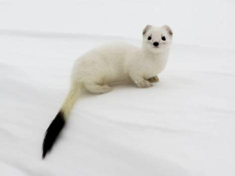 igor-shpilenok-stoat-in-white-winter-coat-kronotsky-zapovednik-kamchatka-far-east-russia-april_a-G-5265167-14258389