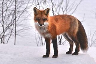 fox-715588__340