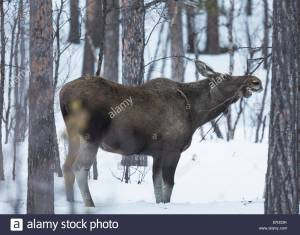 moose-cow-alces-alces-eating-on-a-bush-in-winter-kiruna-swedish-lapland-ER333K